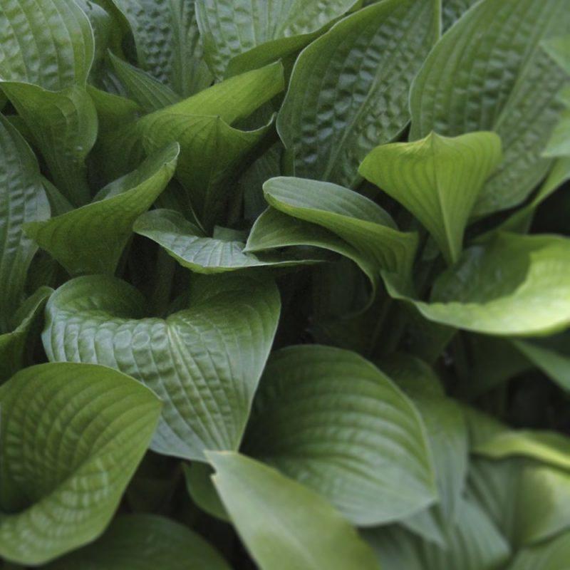 Japaninkuunlilja Hosta lancifolia