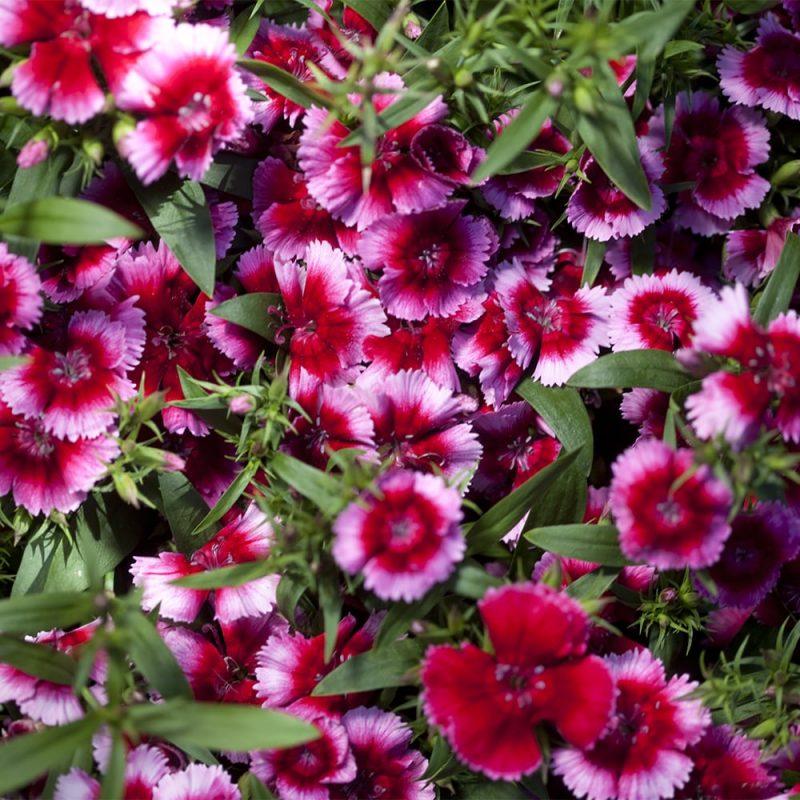 Kiinanneilikka Dianthus chinensis