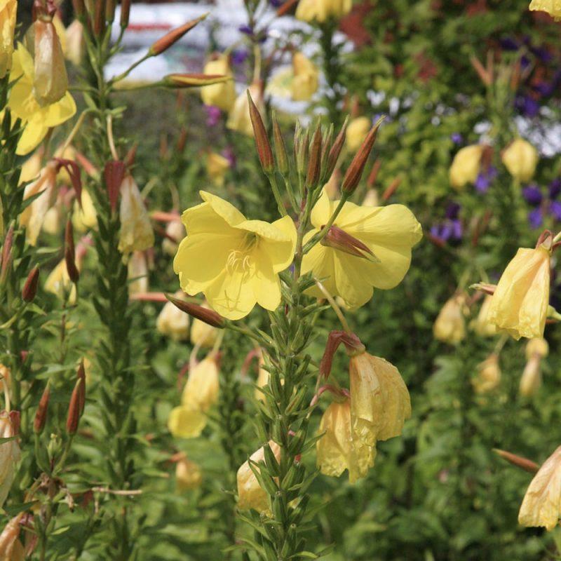 Kultahelokki Oenothera fruticosa