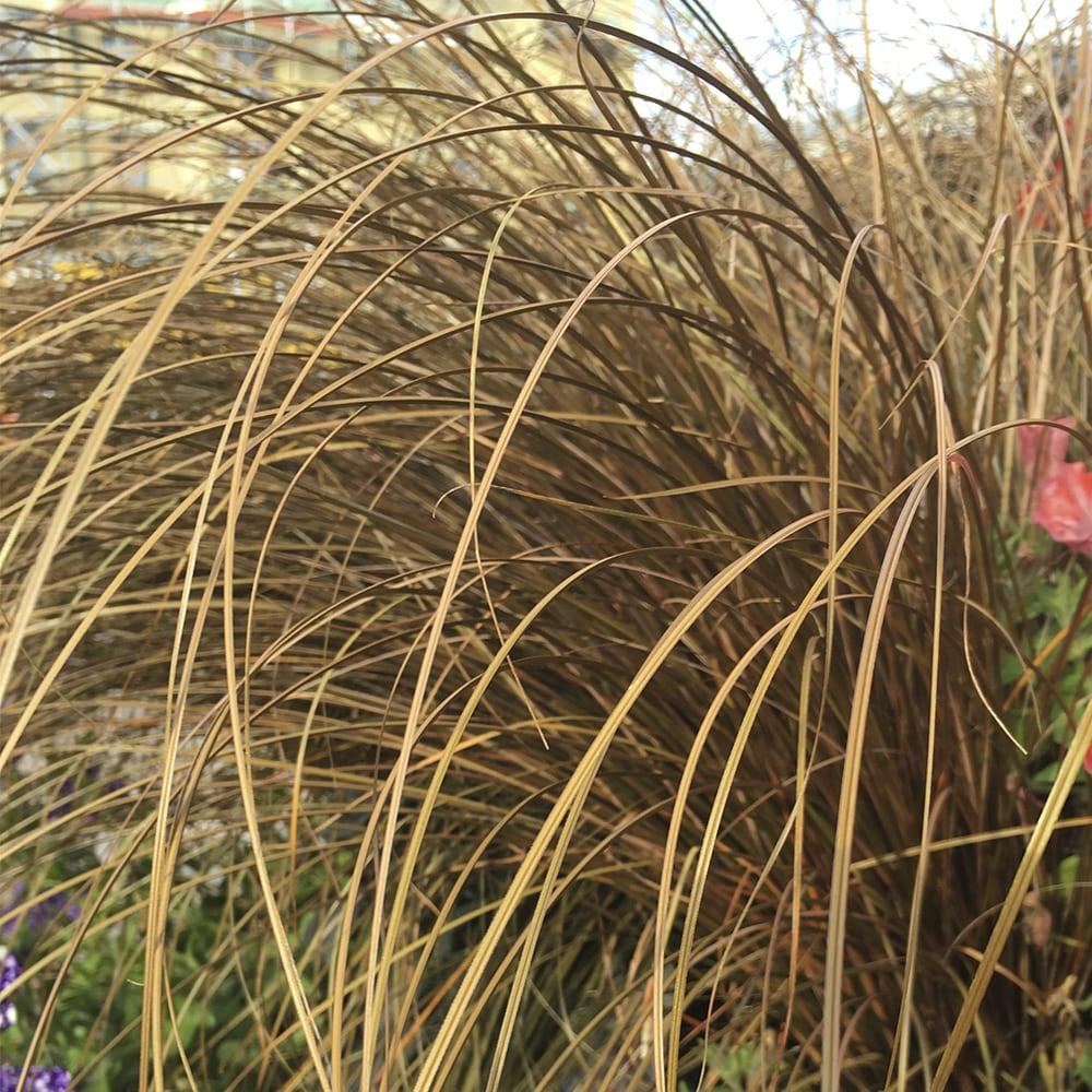 Kuparisara Carex buchananii
