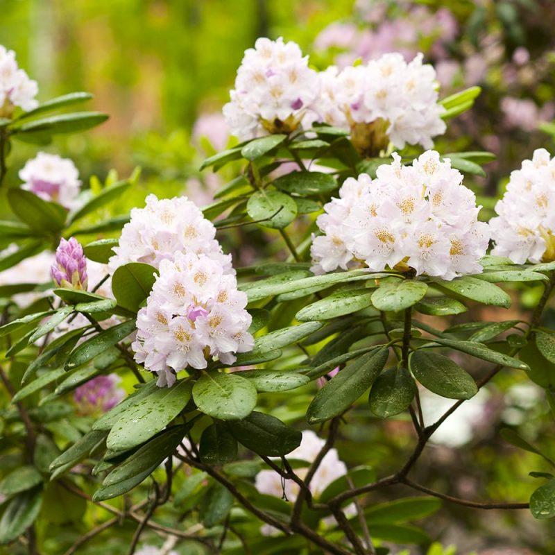 Marjatanalppiruusut Rhododendron Tigerstedtii