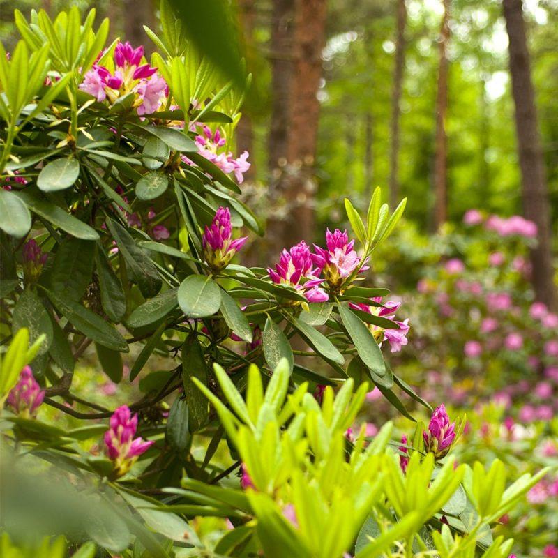 Marjatanalppiruusut Rhododendron Tigerstedtii ryhmä