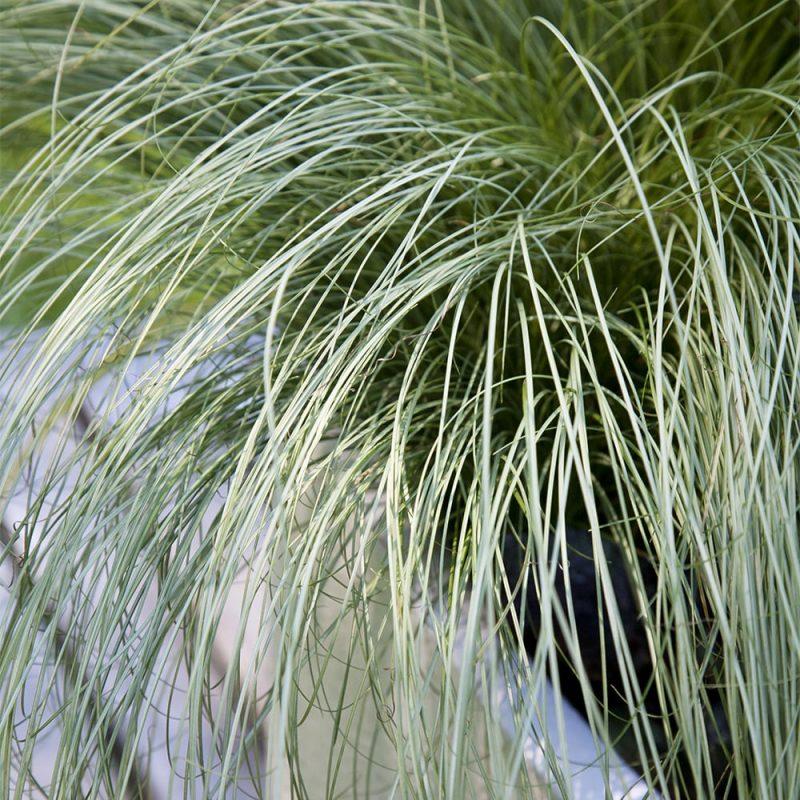 Pronssisara Carex comans