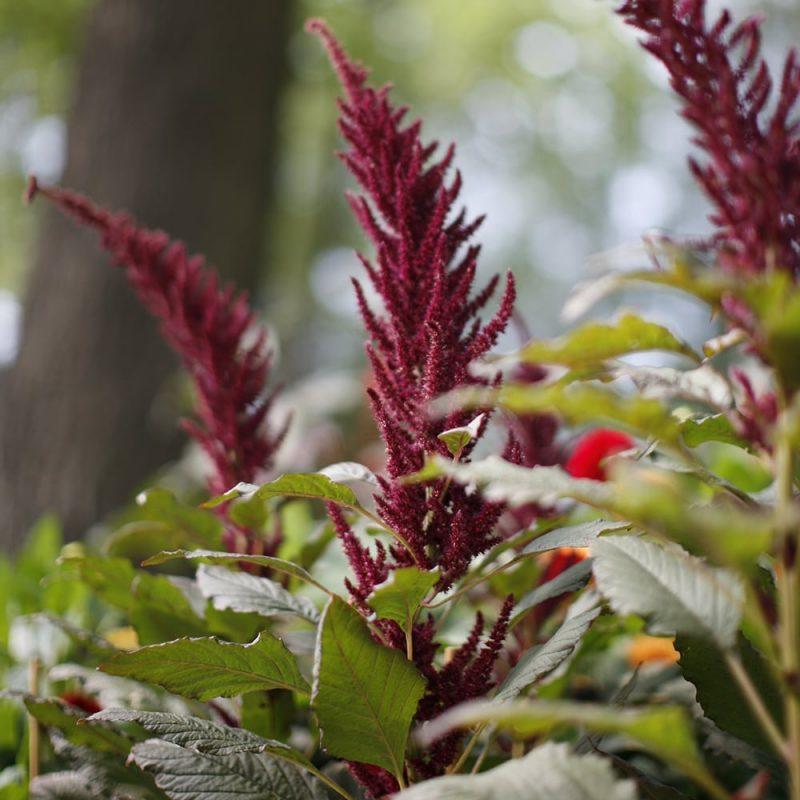 Purppurarevonhäntä Amaranthus hybridus subsp. Cruentus