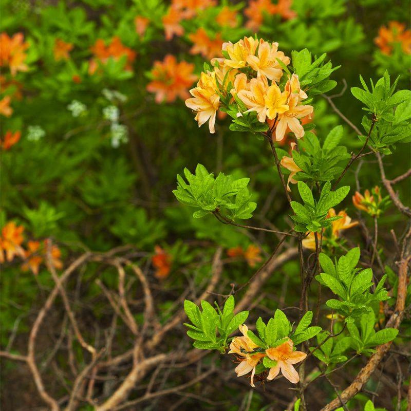 Revontuliatsalea Rhododendron Lights