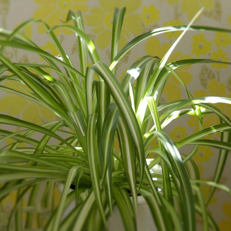 Rönsyliljat Chlorophytum