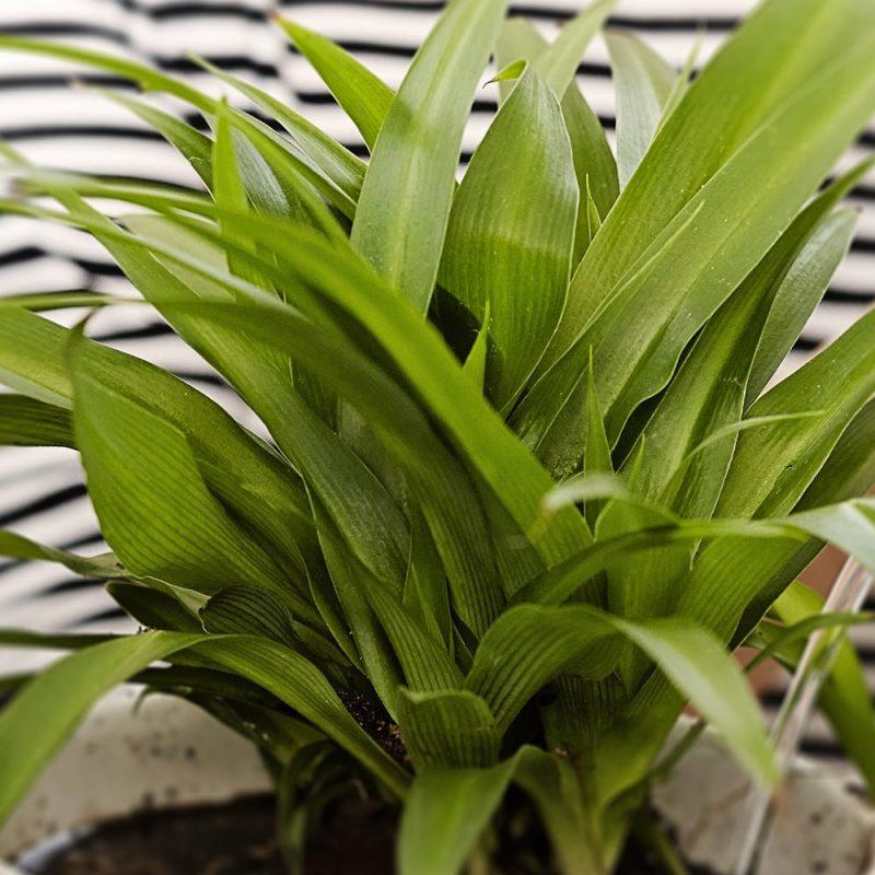 Rönsyliljat Chlorophytum, läheltä