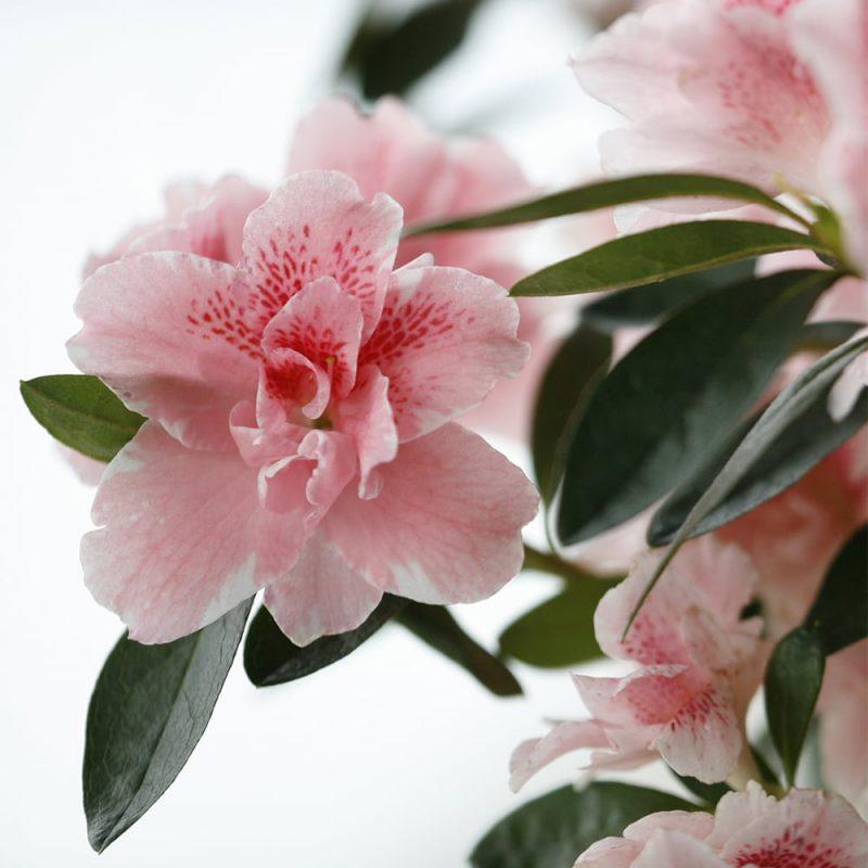 Ruukkuatsalea Rhododendron Simsii -ryhmä