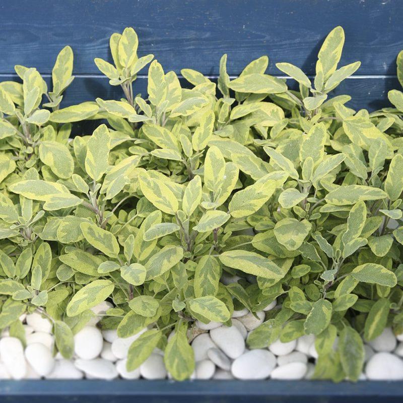 Ryytisalvia Salvia officinalis viljelylaatikossa