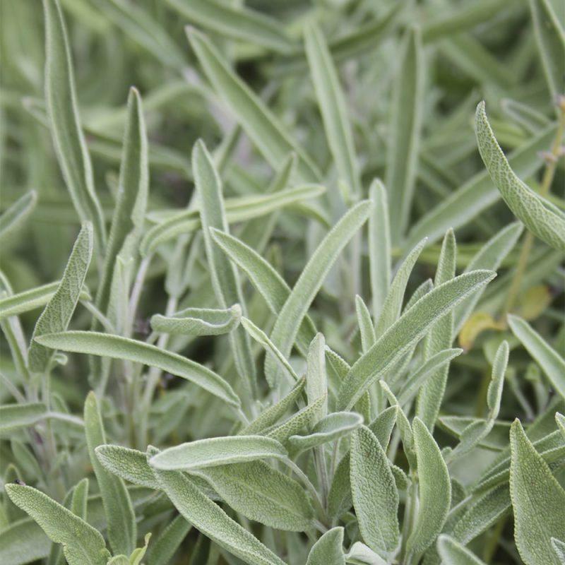 Ryytisalvia Salvia officinalis