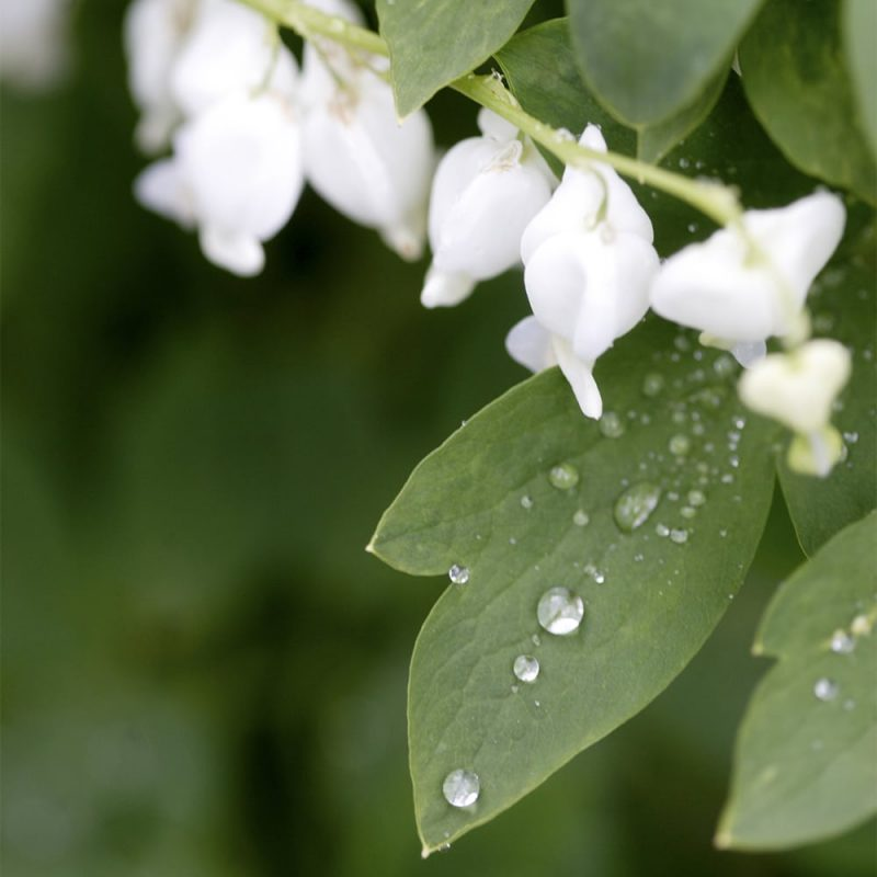 Särkynytsydän Lamprocapnos spectabilis kukat