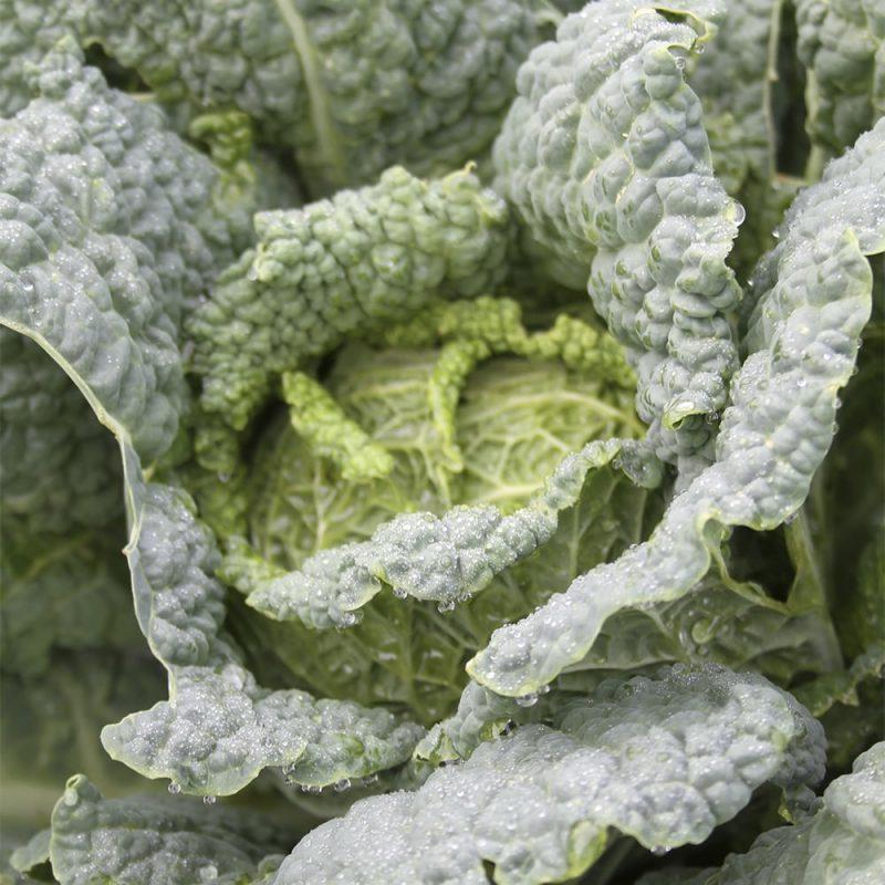 Savoijinkaali Brassica oleracea Sabauda