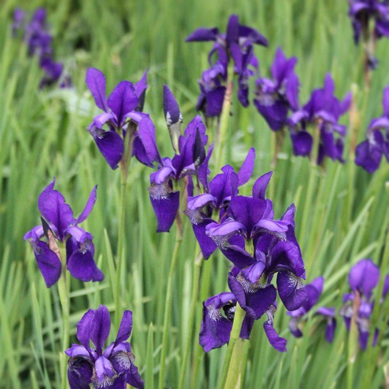 Siperiankurjenmiekka Iris sibirica royal blue