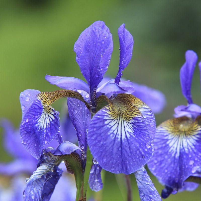 Siperiankurjenmiekan Iris sibirica kukka