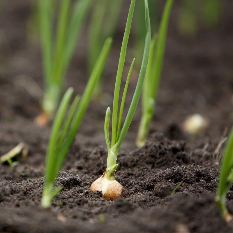 Sipuli Allium cepa
