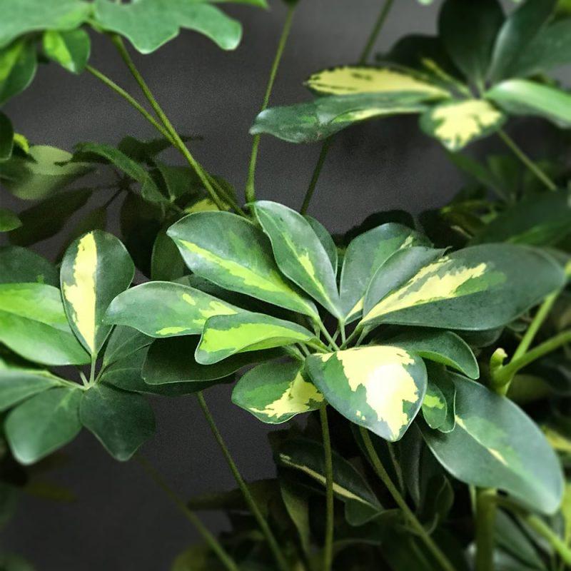 Siroliuska-aralia Schefflera arboricola Kekkilä