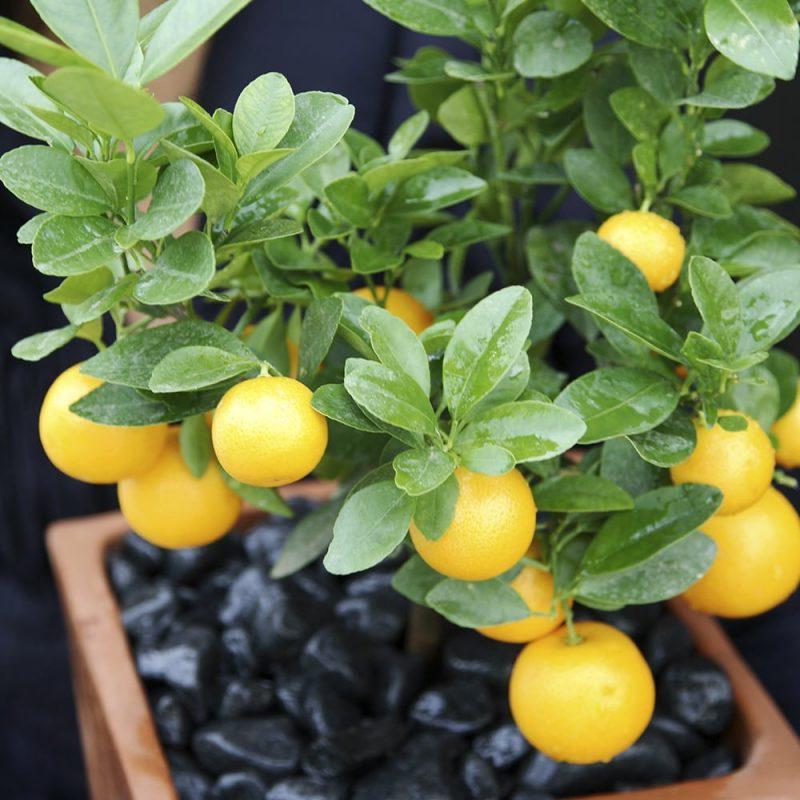 Sitruspuu Citrus