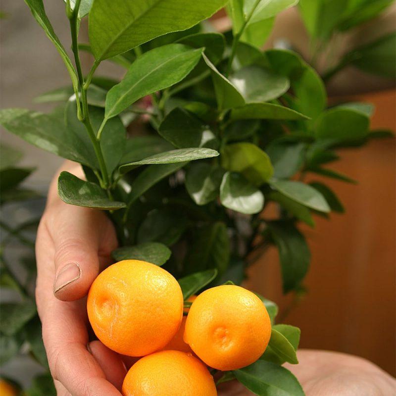Sitruspuun Citrus hedelmät