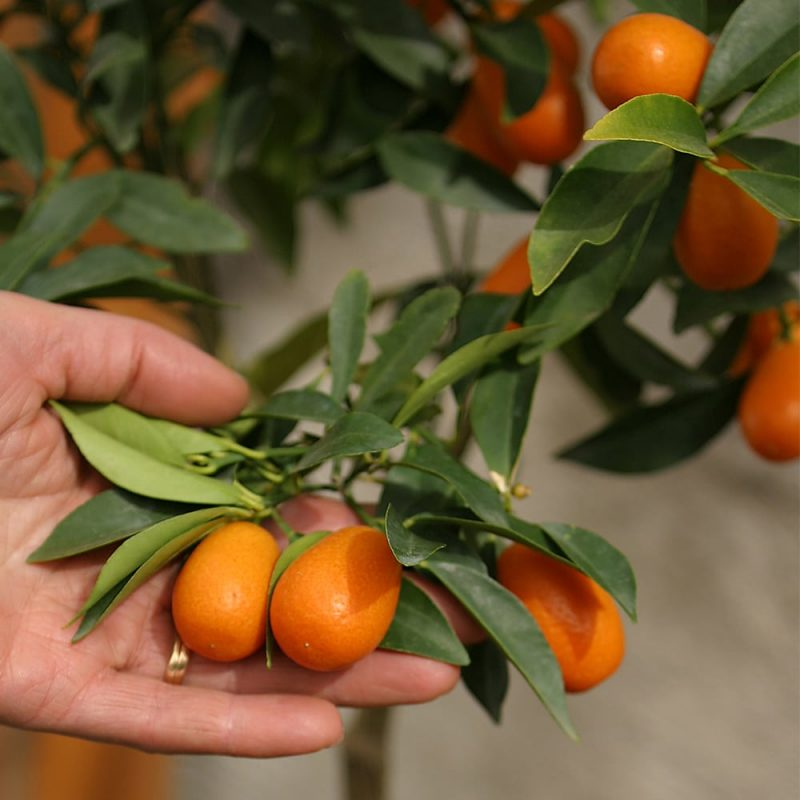 Sitruspuu Citrus hedelmä
