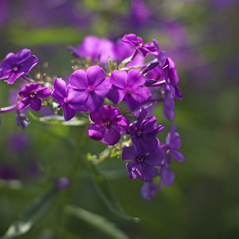 Syysleimu Phlox paniculata violetti