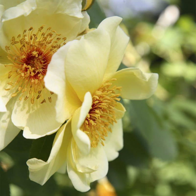 Tarhapimpinellaruusu Rosa pimpinellifolia golden wings