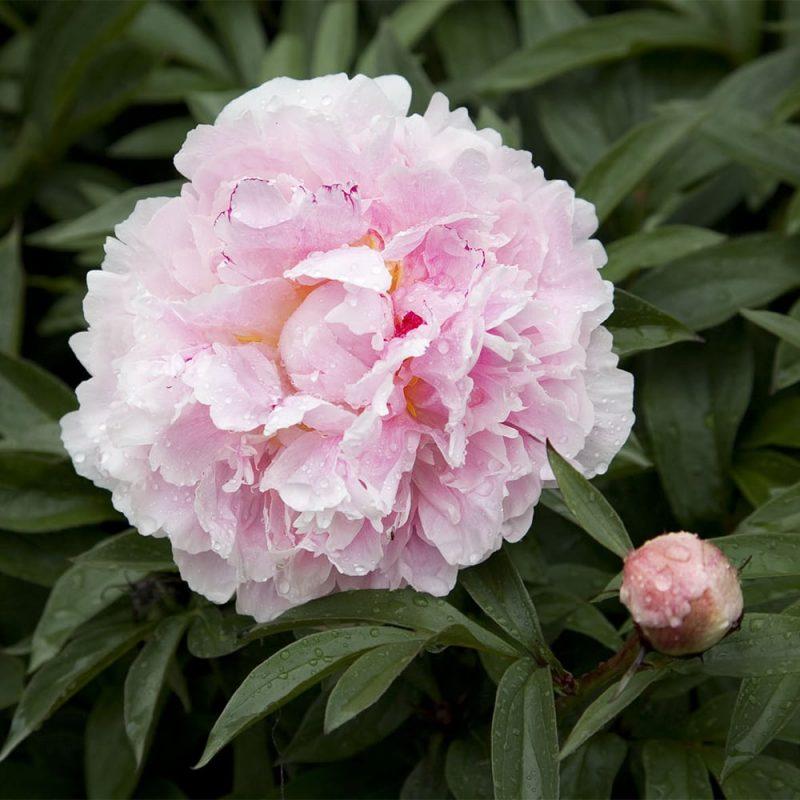 Tarhapioni Paeonia x festiva vaaleanpunainen kukka