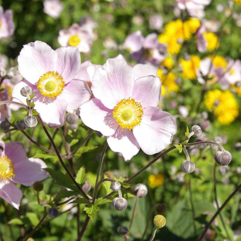 Tarhasyysvuokko Anemone x hybrida kukka