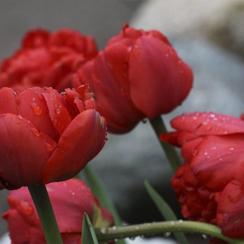 Tarhatulppaani Tulipa gesneriana punainen