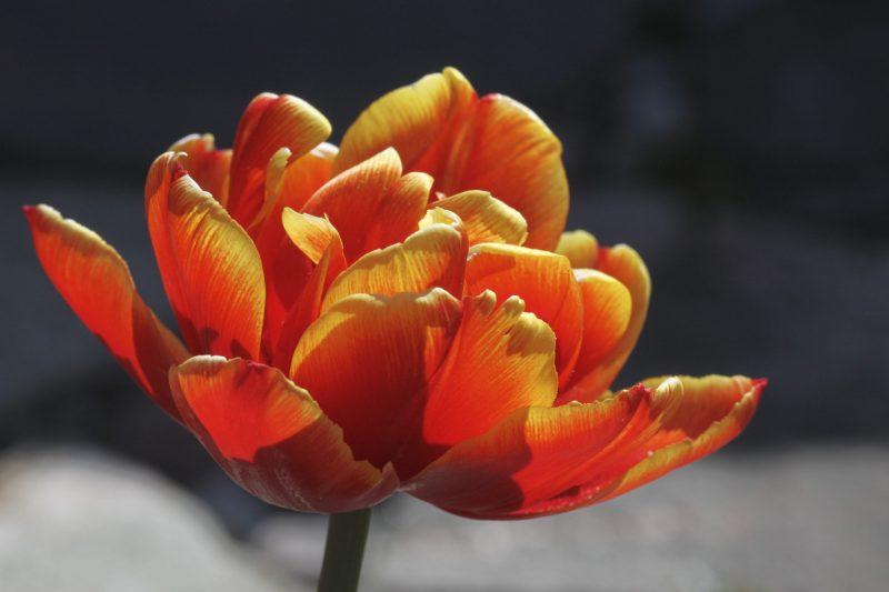 Tarhatulppaani Tulipa gesneriana oranssi