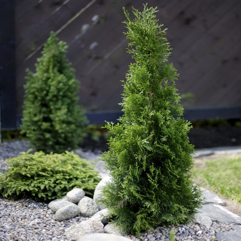 Timanttituija Thuja occidentalis 'Smaragd'