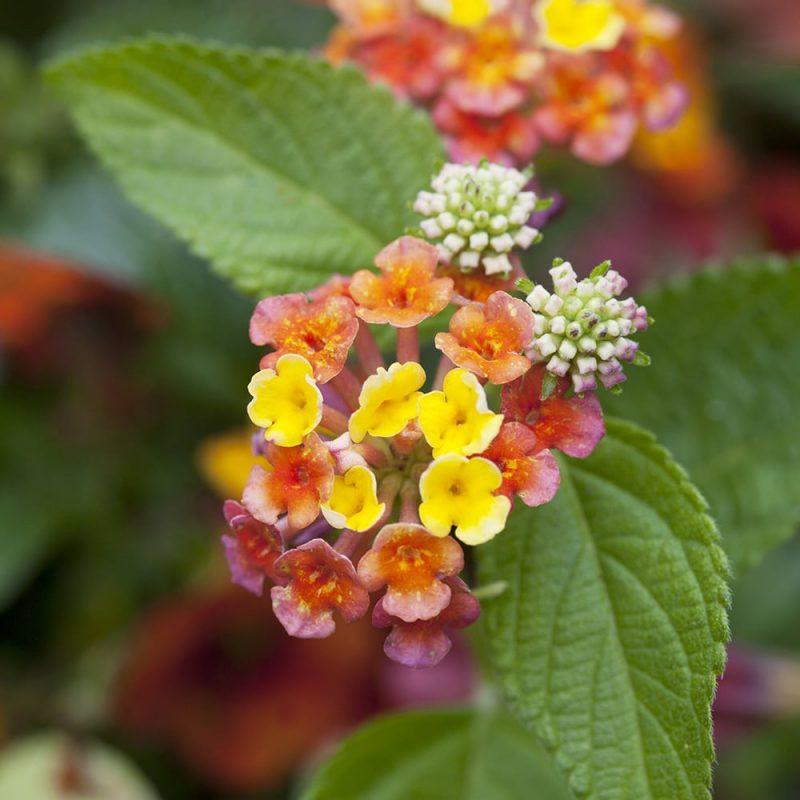 Tulikruunun Lantana camara kukka