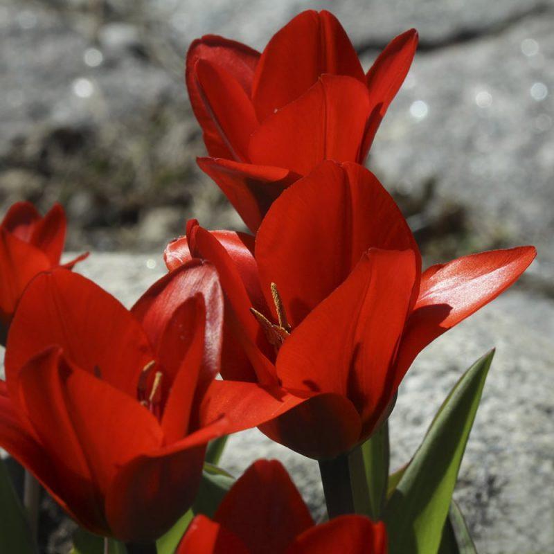 Tulitulppaani Tulipa fosteriana
