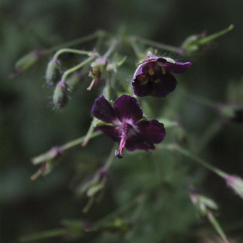 Tummakurjenpolvi Geranium phaeum