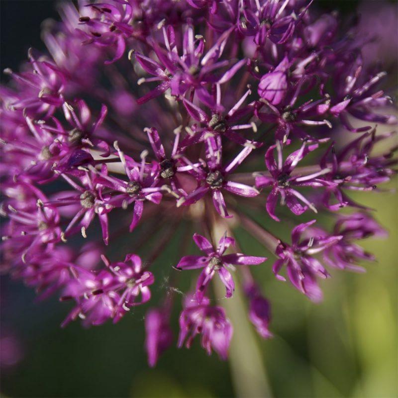 Ukkolaukka Allium hollandicum 'Purple Sensation' kukka