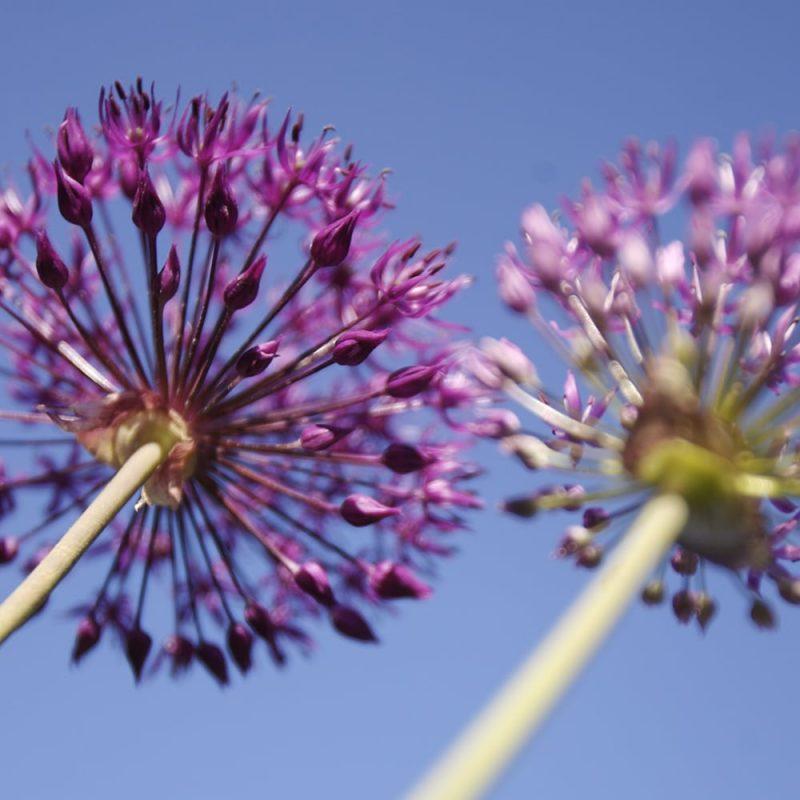 Ukkolaukka Allium hollandicum 'Purple Sensation'