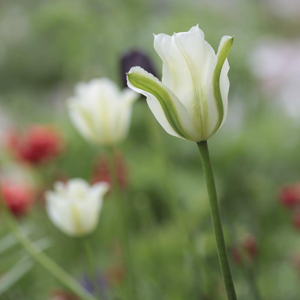Vihrearaitatulppaani Tulipa Viridiflora -ryhmä