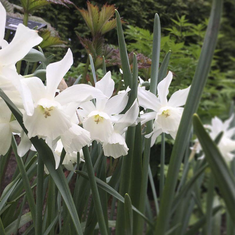 Orkideanarsissi narcissus thalia