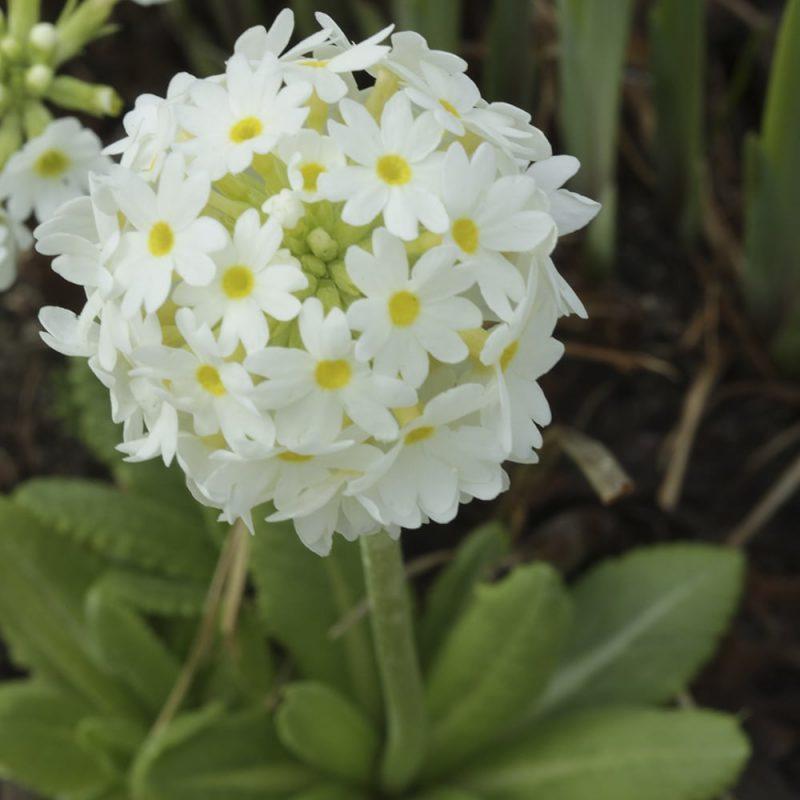 Palloesikko Primula denticulata