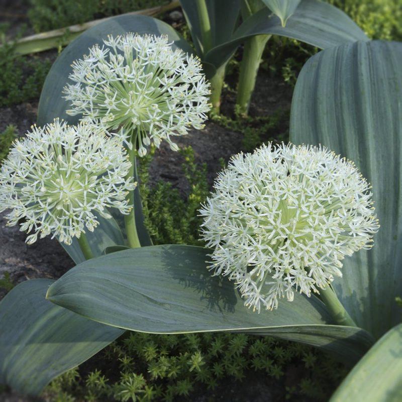 Pallolaukka Allium karataviense 'Ivory Queen'