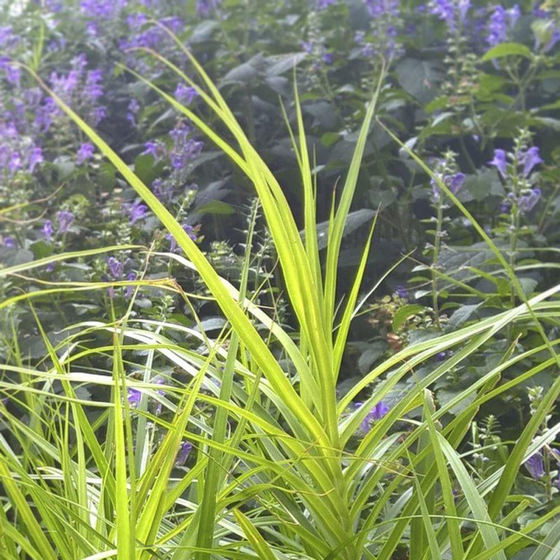 Palmusara Carex x muskingumensis koristeheinä