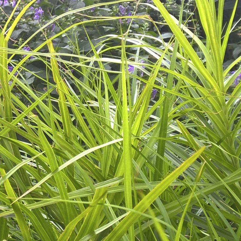 Palmusaran Carex x muskingumensis lehdistö