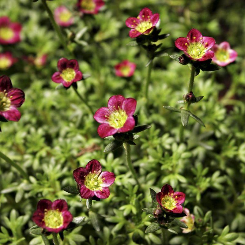 Patjarikon Saxifraga Arendsii kukat