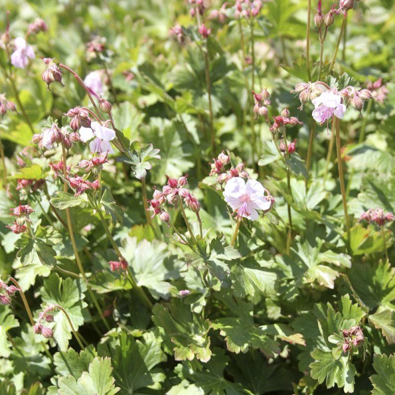 Peittokurjenpolvi Geranium cantabrigiensis biokovo