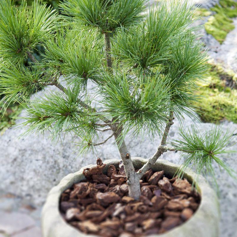 Pensassembra Pinus pumila