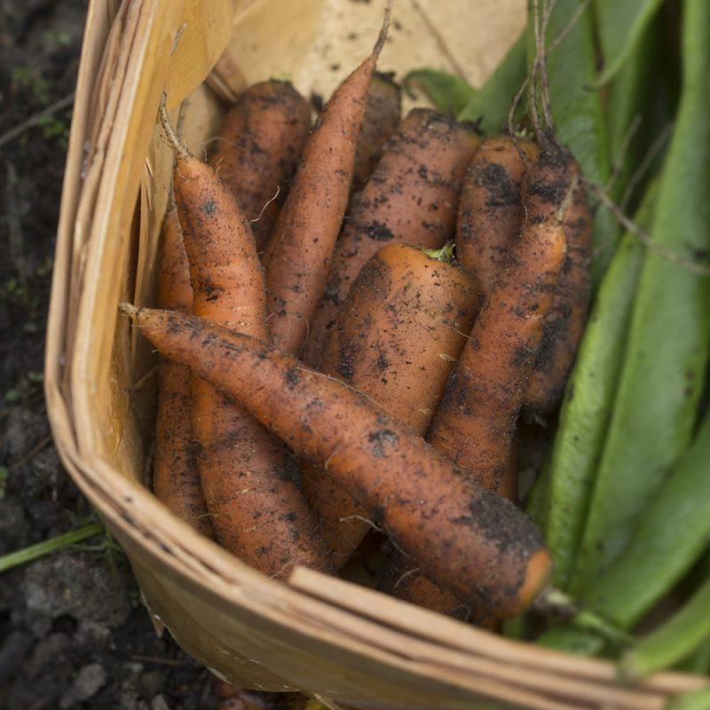 Porkkana Daucus carota subsp. Sativus