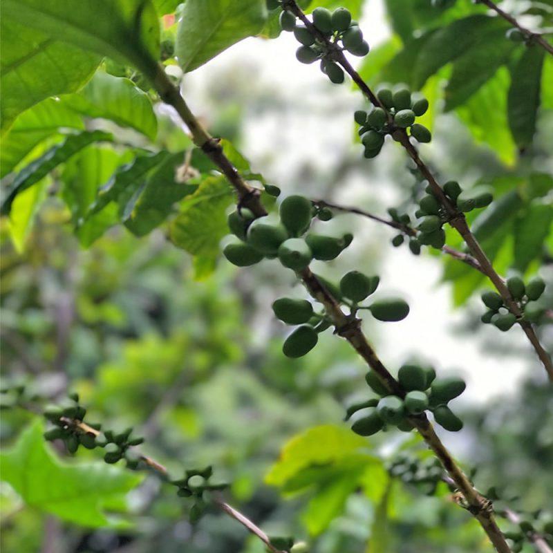 Kahvipensas Coffea arabica marjat Kekkilä