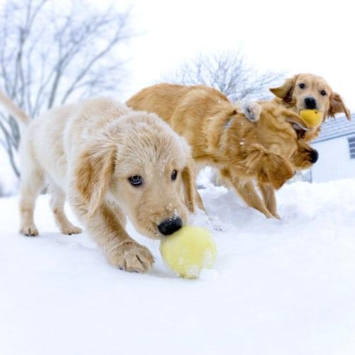 Koirat lumessa