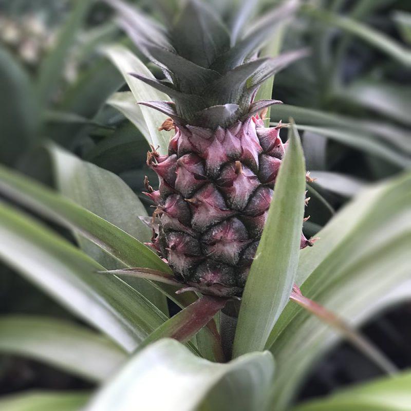 Ananas Ananas comosum Kekkilä