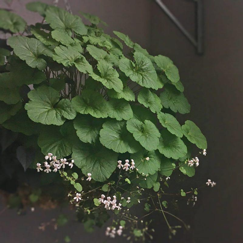 Australianvillipelargoni Pelargonium australe Kekkilä