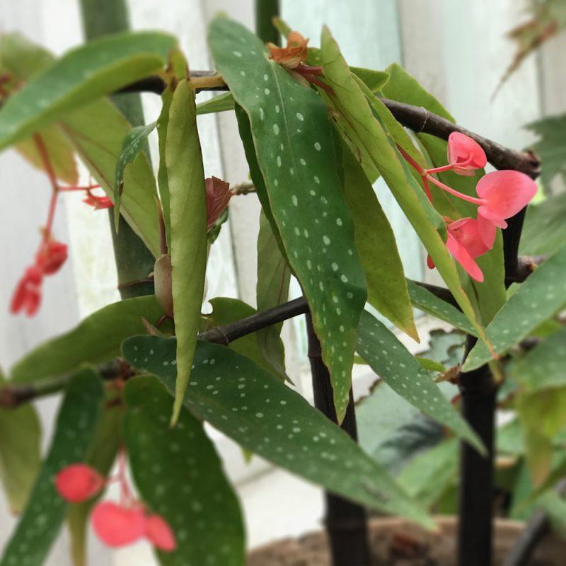 Enkelinsiipi Begonia Corallina-ryhmä Kekkilä